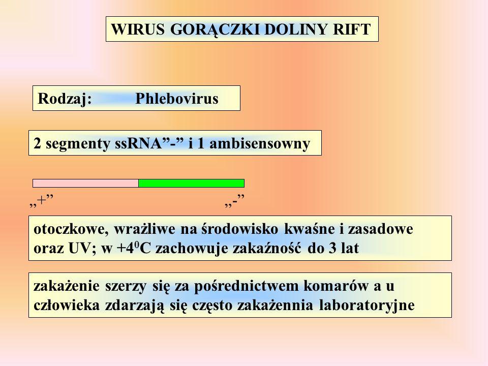 """WIRUS GORĄCZKI DOLINY RIFT Rodzaj:Phlebovirus 2 segmenty ssRNA""""-"""" i 1 ambisensowny """"+""""""""-"""" otoczkowe, wrażliwe na środowisko kwaśne i zasadowe oraz UV;"""