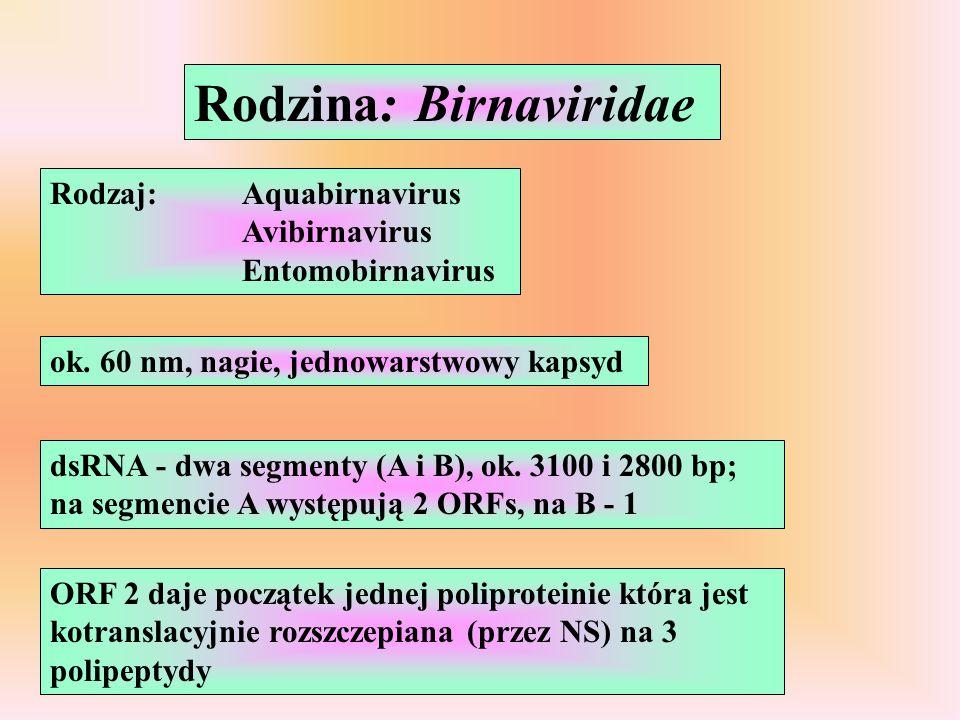 Rodzina: Birnaviridae Rodzaj: Aquabirnavirus Avibirnavirus Entomobirnavirus ok. 60 nm, nagie, jednowarstwowy kapsyd dsRNA - dwa segmenty (A i B), ok.