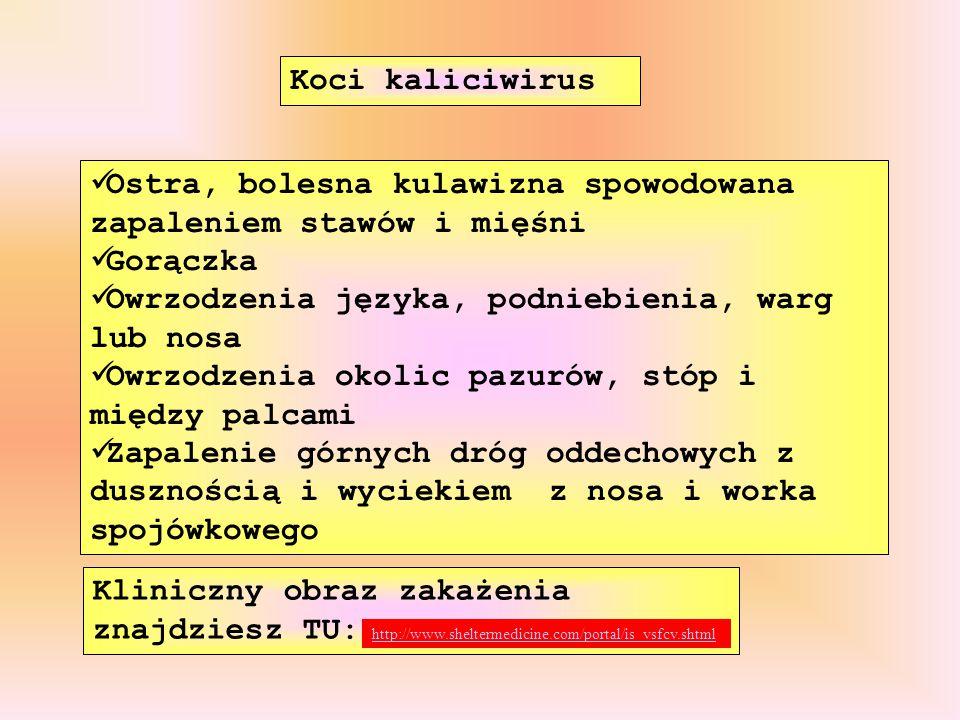 Kliniczny obraz zakażenia znajdziesz TU: Koci kaliciwirus Ostra, bolesna kulawizna spowodowana zapaleniem stawów i mięśni Gorączka Owrzodzenia języka,