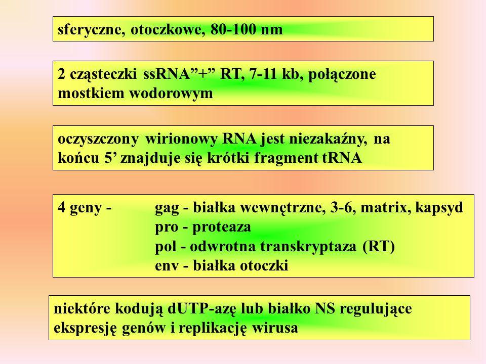 """sferyczne, otoczkowe, 80-100 nm 2 cząsteczki ssRNA""""+"""" RT, 7-11 kb, połączone mostkiem wodorowym oczyszczony wirionowy RNA jest niezakaźny, na końcu 5'"""