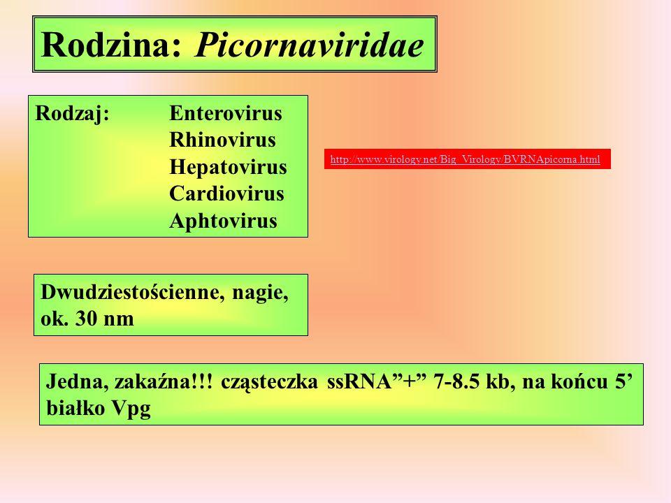 Rodzina: Picornaviridae Rodzaj:Enterovirus Rhinovirus Hepatovirus Cardiovirus Aphtovirus Dwudziestościenne, nagie, ok. 30 nm Jedna, zakaźna!!! cząstec