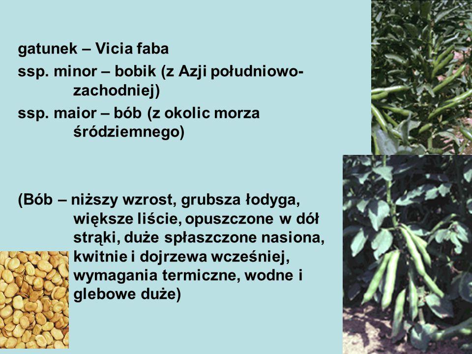 Okres wegetacji 115-130 dni Samokończące okres wegetacji 7-10 dni krótszy Wilgotna i chłodna pogoda przedłuża okres wegetacji, susza – skraca Siewki bobiku znoszą przymrozki wiosenne dochodzące nawet do -7 Bardzo duże wymagania wodne (kwitnienie i zawiązywanie strąków) Brak wody w tym okresie powoduje zrzucanie zawiązków pąków kwiatowych i kwiatów