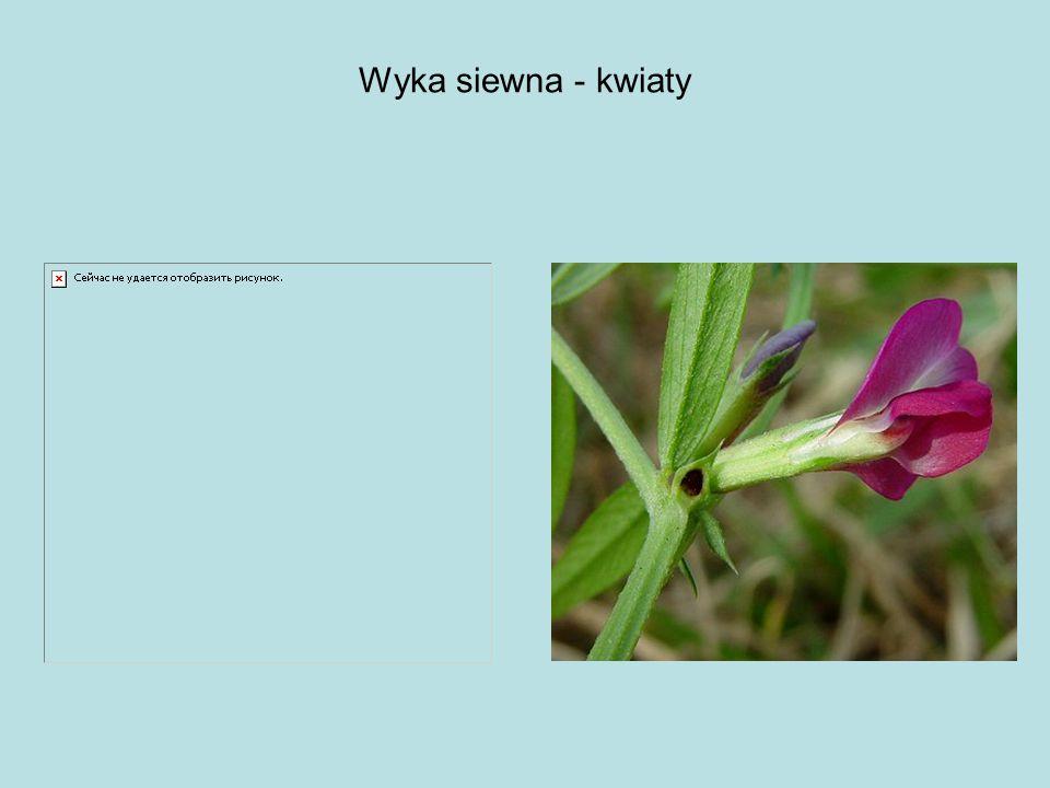 Wyka siewna - kwiaty