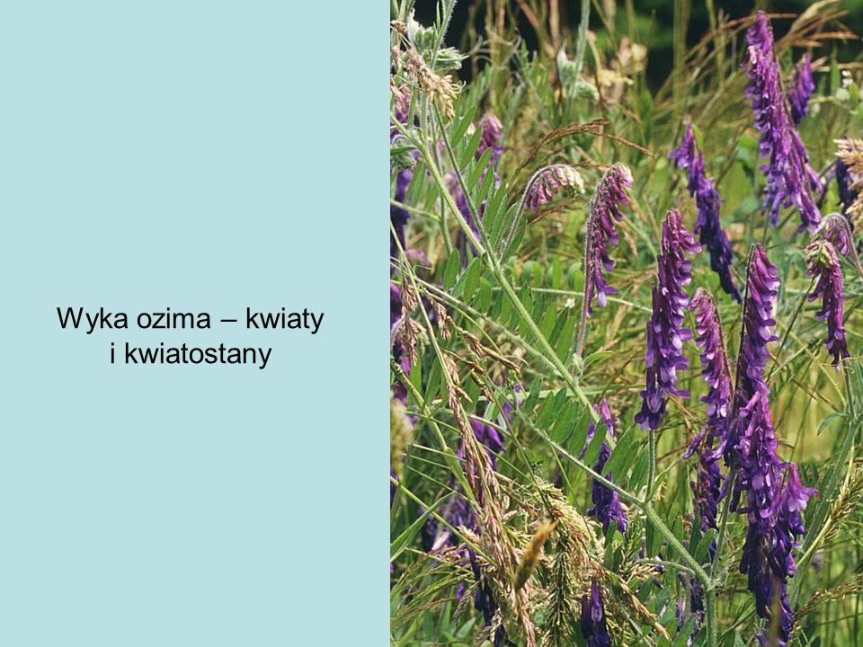 Wyka ozima – kwiaty i kwiatostany