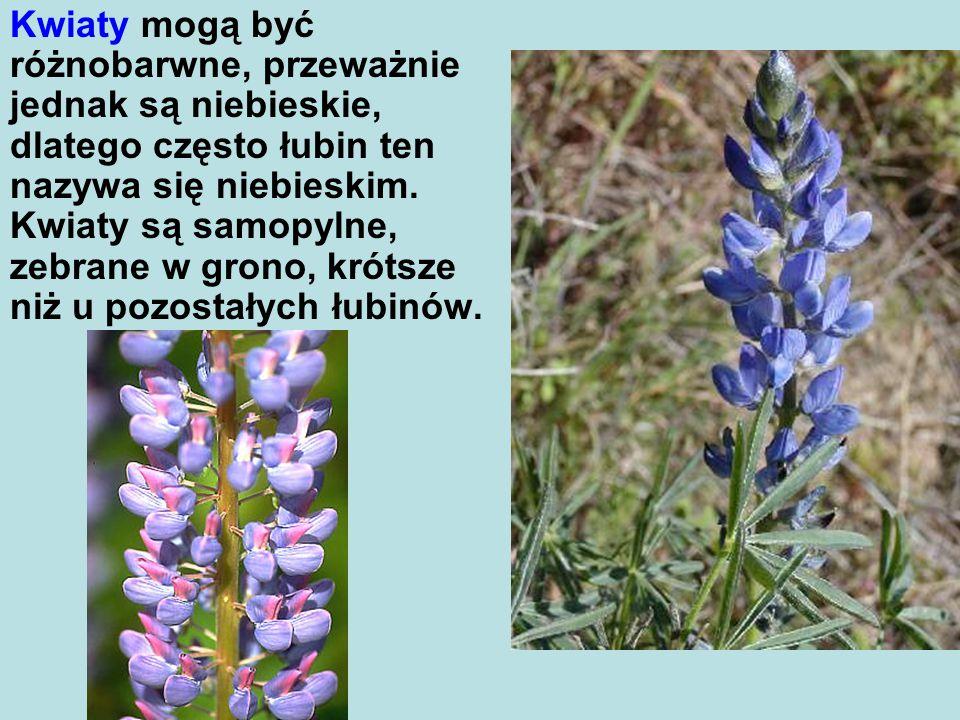 Kwiaty mogą być różnobarwne, przeważnie jednak są niebieskie, dlatego często łubin ten nazywa się niebieskim.