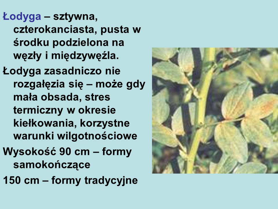 Łubin biały (Lupinus albus L.) Łubin biały należy do najbardziej wymagających i najmniej rozpowszechnionych, a jednocześnie najlepiej plonujących gatunków łubinu uprawnego.