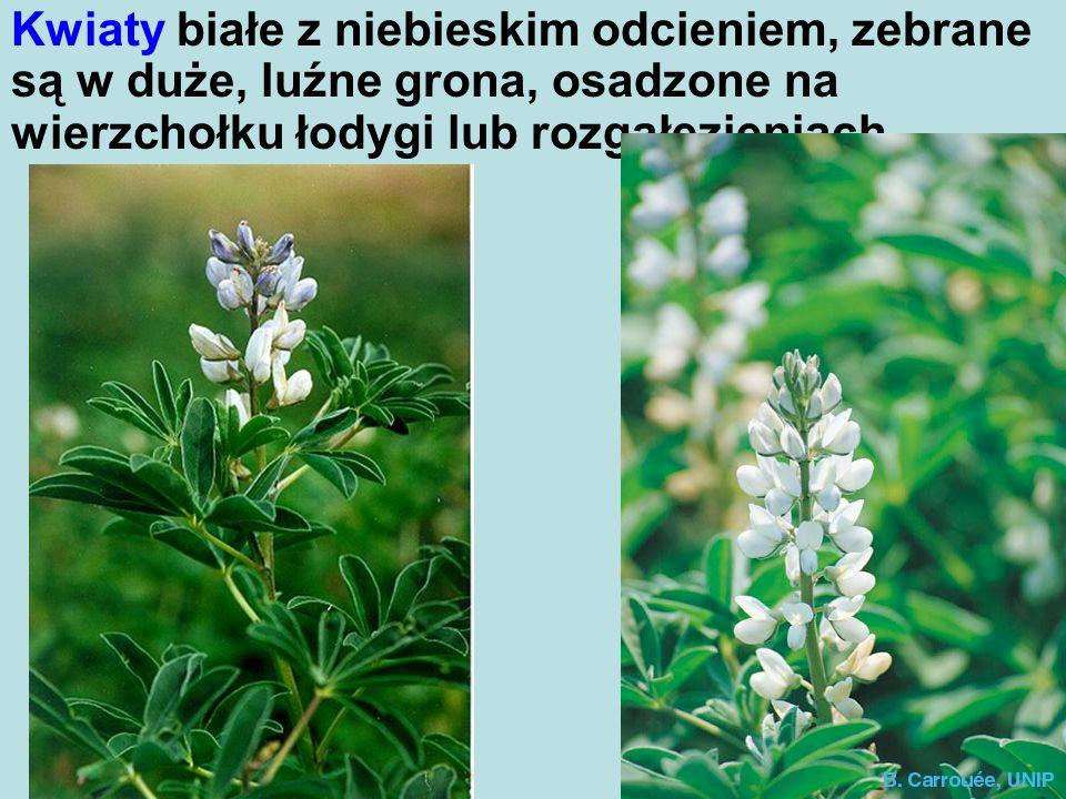 Kwiaty białe z niebieskim odcieniem, zebrane są w duże, luźne grona, osadzone na wierzchołku łodygi lub rozgałęzieniach.
