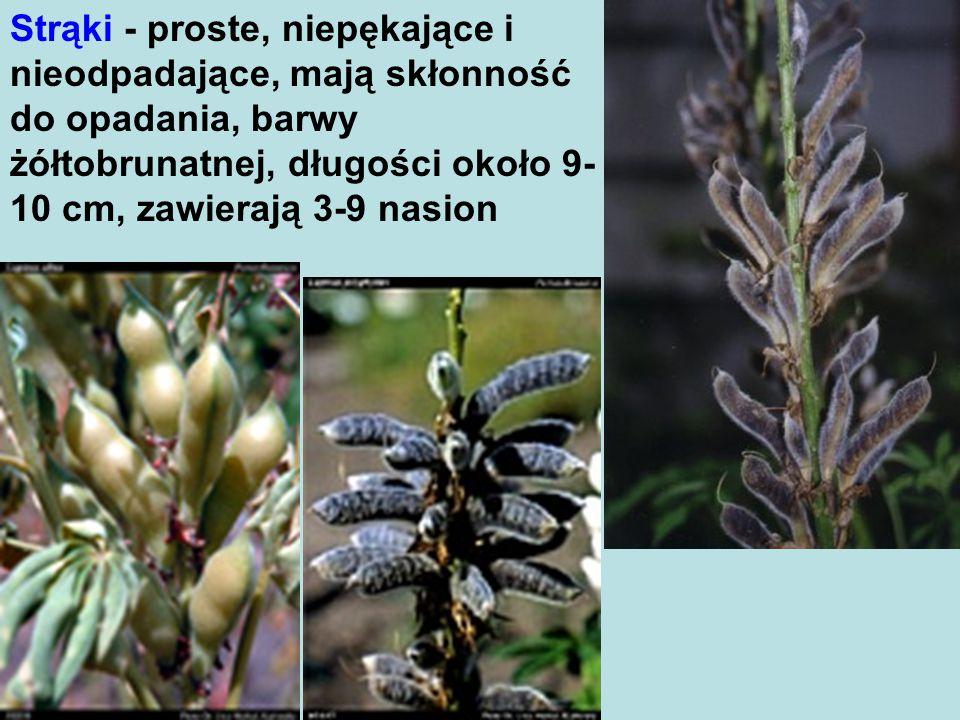 Strąki - proste, niepękające i nieodpadające, mają skłonność do opadania, barwy żółtobrunatnej, długości około 9- 10 cm, zawierają 3-9 nasion