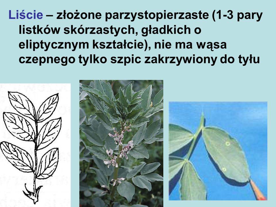 Wyka siewna – liść i przylistki