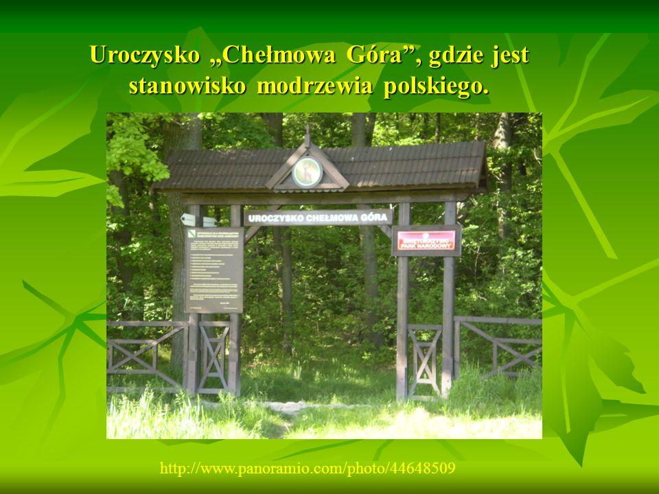 """Uroczysko,,Chełmowa Góra"""", gdzie jest stanowisko modrzewia polskiego. http://www.panoramio.com/photo/44648509"""