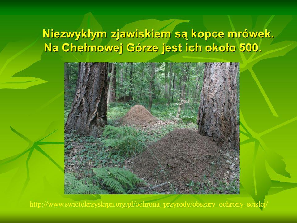 Niezwykłym zjawiskiem są kopce mrówek. Na Chełmowej Górze jest ich około 500. Niezwykłym zjawiskiem są kopce mrówek. Na Chełmowej Górze jest ich około