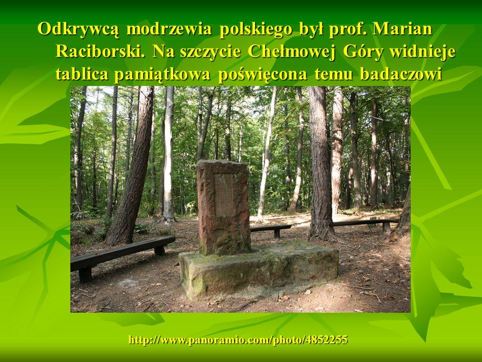 Odkrywcą modrzewia polskiego był prof. Marian Raciborski. Na szczycie Chełmowej Góry widnieje tablica pamiątkowa poświęcona temu badaczowi http://www.