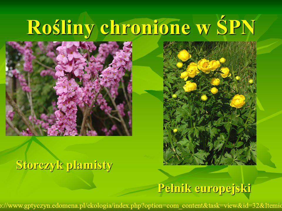 Rośliny chronione w ŚPN Storczyk plamisty Pełnik europejski http://www.gptyczyn.edomena.pl/ekologia/index.php?option=com_content&task=view&id=32&Itemi
