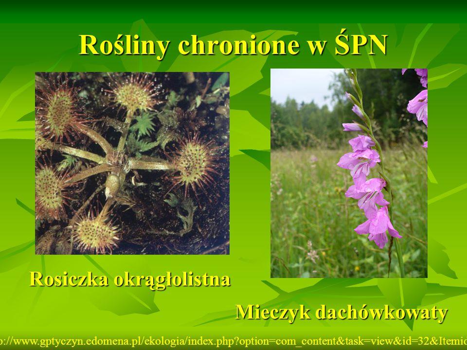 Rośliny chronione w ŚPN Rosiczka okrągłolistna Mieczyk dachówkowaty http://www.gptyczyn.edomena.pl/ekologia/index.php?option=com_content&task=view&id=