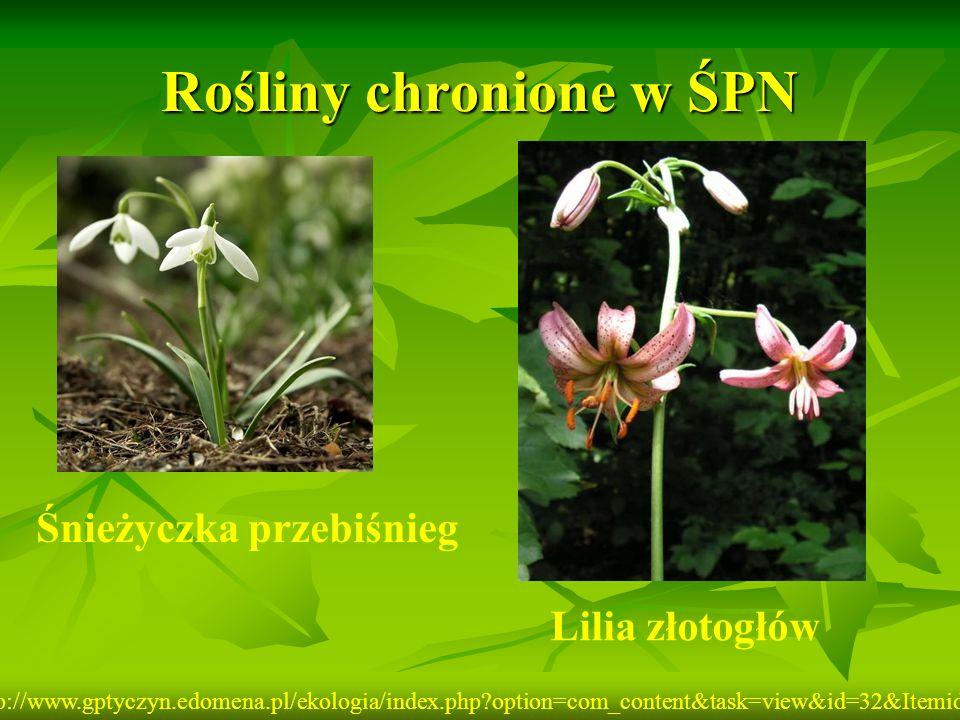Rośliny chronione w ŚPN Śnieżyczka przebiśnieg Lilia złotogłów http://www.gptyczyn.edomena.pl/ekologia/index.php?option=com_content&task=view&id=32&It