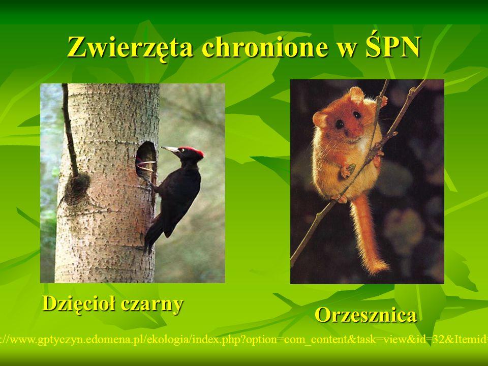 Zwierzęta chronione w ŚPN http://www.gptyczyn.edomena.pl/ekologia/index.php?option=com_content&task=view&id=32&Itemid=43 Dzięcioł czarny Orzesznica