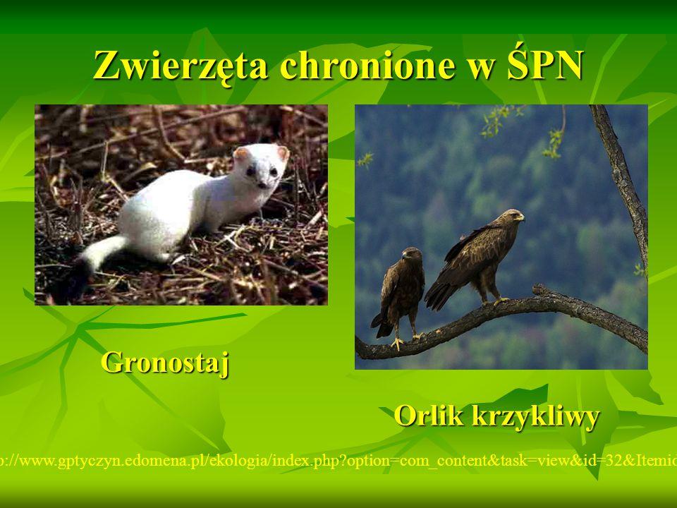 Zwierzęta chronione w ŚPN http://www.gptyczyn.edomena.pl/ekologia/index.php?option=com_content&task=view&id=32&Itemid=43 Gronostaj Orlik krzykliwy