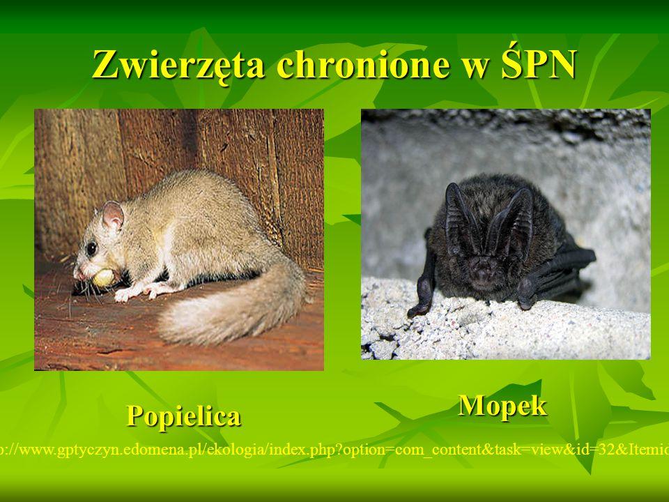 Zwierzęta chronione w ŚPN http://www.gptyczyn.edomena.pl/ekologia/index.php?option=com_content&task=view&id=32&Itemid=43 Popielica Mopek