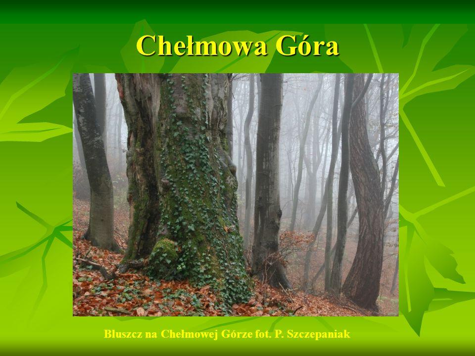 Chełmowa Góra Bluszcz na Chełmowej Górze fot. P. Szczepaniak
