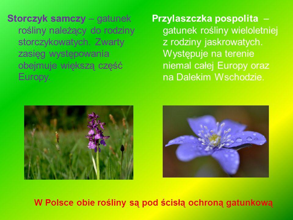 Storczyk samczy – gatunek rośliny należący do rodziny storczykowatych. Zwarty zasięg występowania obejmuje większą część Europy. Przylaszczka pospolit
