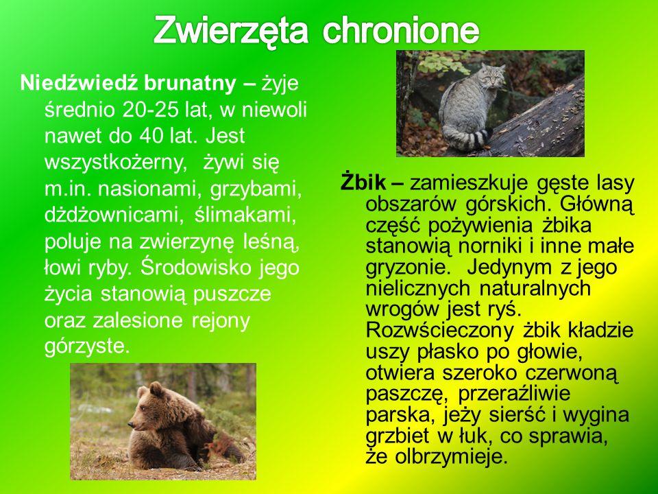 Niedźwiedź brunatny – żyje średnio 20-25 lat, w niewoli nawet do 40 lat. Jest wszystkożerny, żywi się m.in. nasionami, grzybami, dżdżownicami, ślimaka