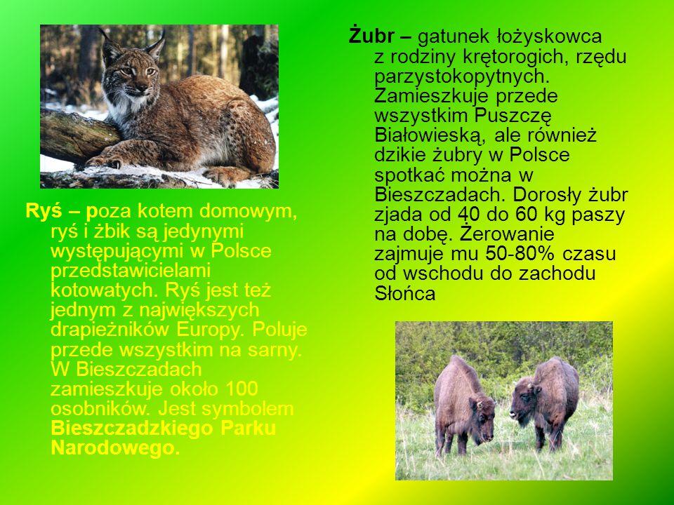 Ryś – poza kotem domowym, ryś i żbik są jedynymi występującymi w Polsce przedstawicielami kotowatych. Ryś jest też jednym z największych drapieżników