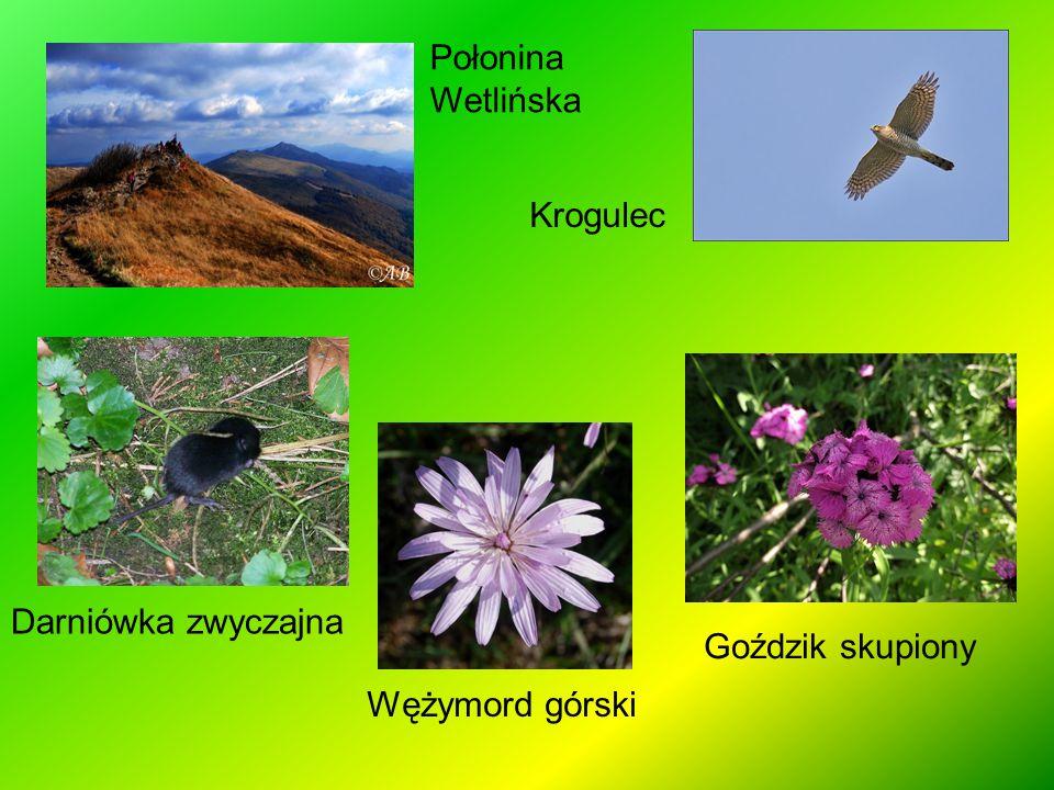 Połonina Wetlińska Krogulec Darniówka zwyczajna Wężymord górski Goździk skupiony