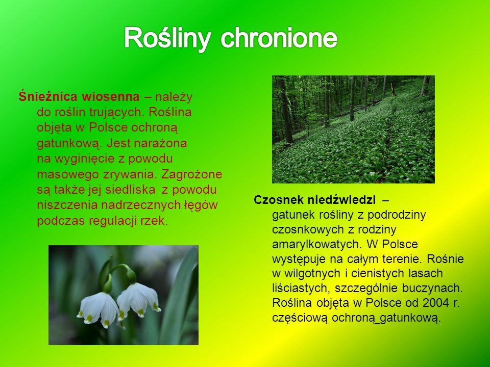 Śnieżnica wiosenna – należy do roślin trujących. Roślina objęta w Polsce ochroną gatunkową. Jest narażona na wyginięcie z powodu masowego zrywania. Za