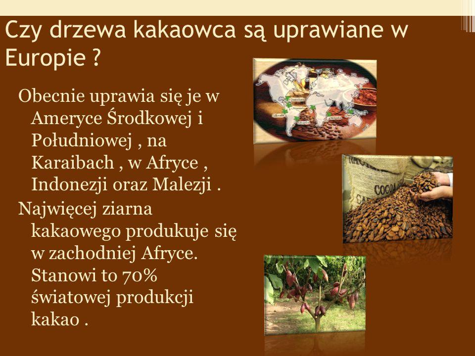 Czy drzewa kakaowca są uprawiane w Europie .