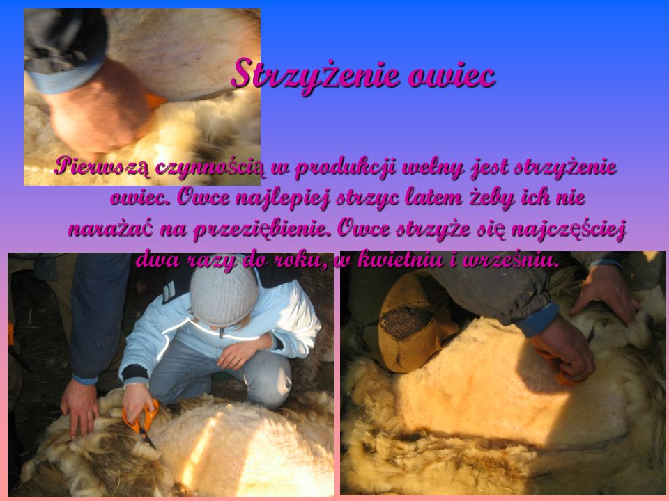 Strzy ż enie owiec Pierwsz ą czynno ś ci ą w produkcji wełny jest strzy ż enie owiec. Owce najlepiej strzyc latem ż eby ich nie nara ż a ć na przezi ę