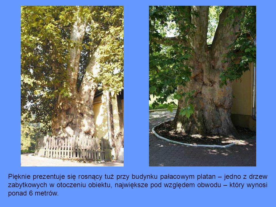 Pięknie prezentuje się rosnący tuż przy budynku pałacowym platan – jedno z drzew zabytkowych w otoczeniu obiektu, największe pod względem obwodu – który wynosi ponad 6 metrów.
