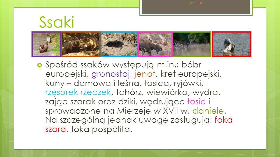 Ssaki  Spośród ssaków występują m.in.: bóbr europejski, gronostaj, jenot, kret europejski, kuny – domowa i leśna, łasica, ryjówki, rzęsorek rzeczek, tchórz, wiewiórka, wydra, zając szarak oraz dziki, wędrujące łosie i sprowadzone na Mierzeję w XVII w.