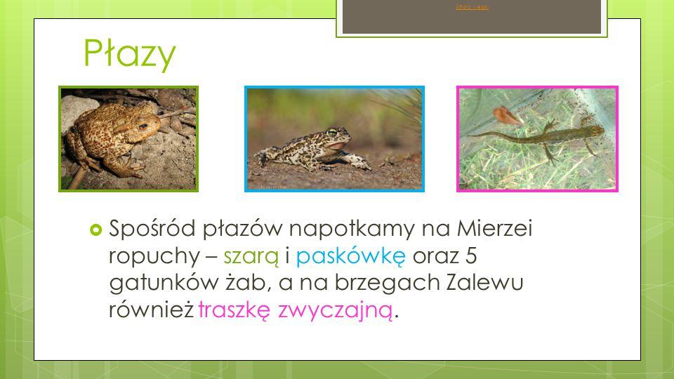 Płazy  Spośród płazów napotkamy na Mierzei ropuchy – szarą i paskówkę oraz 5 gatunków żab, a na brzegach Zalewu również traszkę zwyczajną.