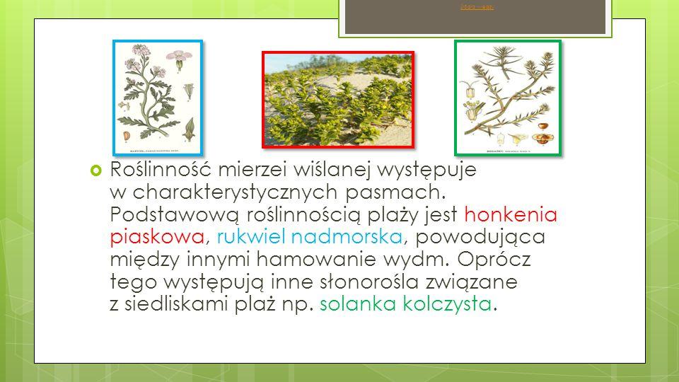  Roślinność mierzei wiślanej występuje w charakterystycznych pasmach.