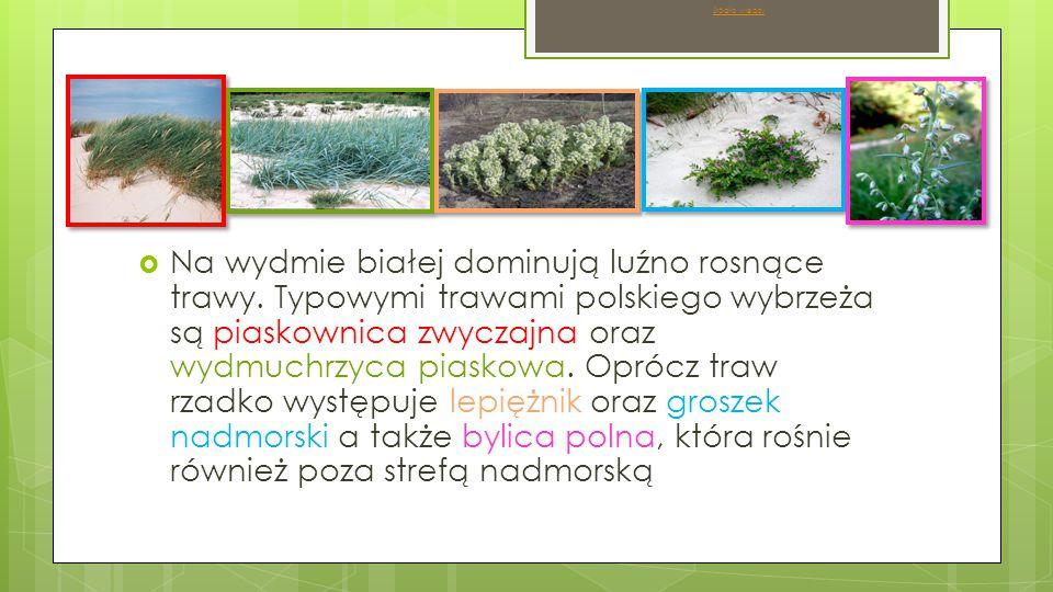  Na wydmie szarej oprócz roślin występujących na wydmie białej pojawia się wiele zielenic oraz turzyca piaskowa, szczotlicha siwa, kocanki piaskowe.