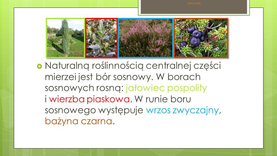  Naturalną roślinnością centralnej części mierzei jest bór sosnowy.