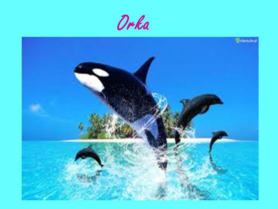 """Delfiny mają swój język: porozumiewają się między sobą za pomocą własnego języka na dwa różne sposoby – za pomocą gestów (to głównie gesty wykonywane płetwami, figury, czy nawet całe """"taneczne układy) oraz dźwięków (to sygnały, często ultradźwiękowe piski)."""