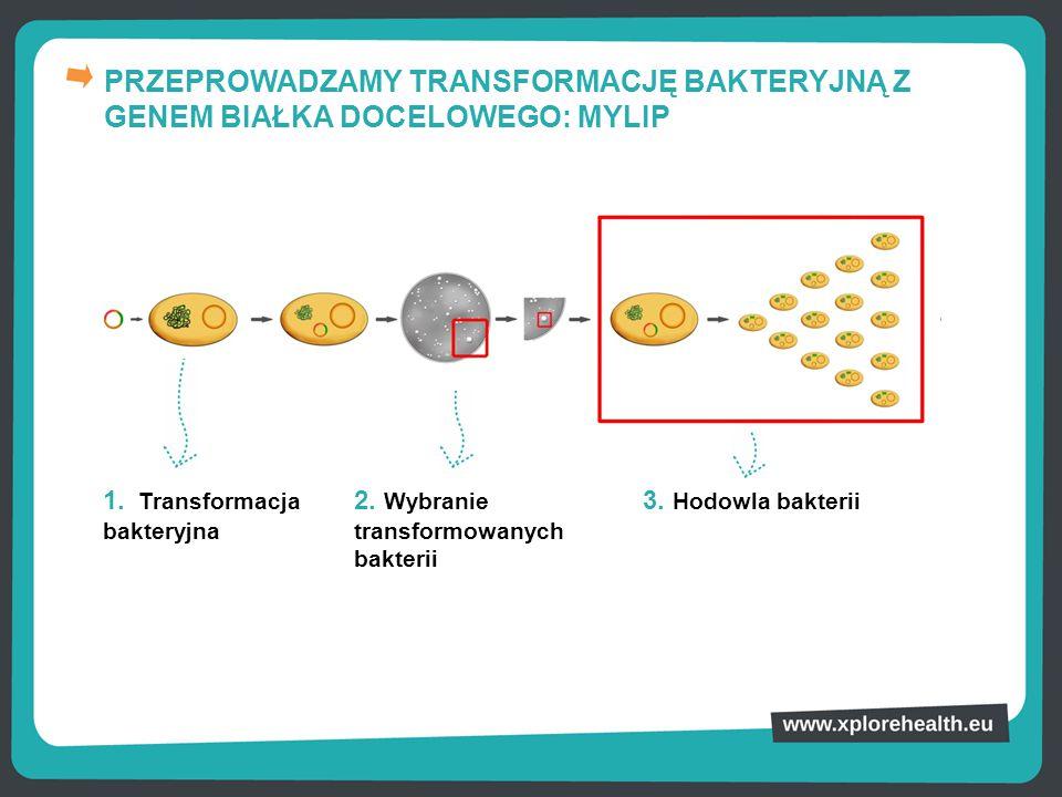 PRZEPROWADZAMY TRANSFORMACJĘ BAKTERYJNĄ Z GENEM BIAŁKA DOCELOWEGO: MYLIP 1. Transformacja bakteryjna 2. Wybranie transformowanych bakterii 3. Hodowla