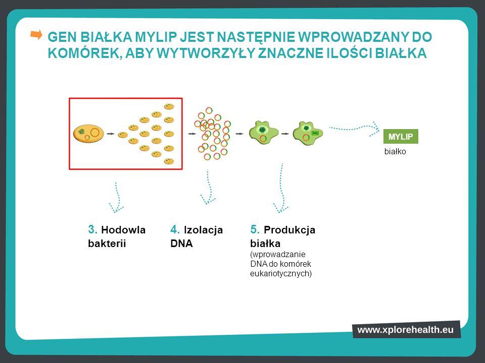 GEN BIAŁKA MYLIP JEST NASTĘPNIE WPROWADZANY DO KOMÓREK, ABY WYTWORZYŁY ZNACZNE ILOŚCI BIAŁKA 3. Hodowla bakterii 4. Izolacja DNA 5. Produkcja białka (