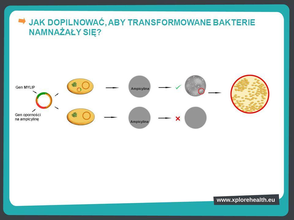 JAK DOPILNOWAĆ, ABY TRANSFORMOWANE BAKTERIE NAMNAŻAŁY SIĘ? Gen oporności na ampicylinę Gen MYLIP Ampicylina