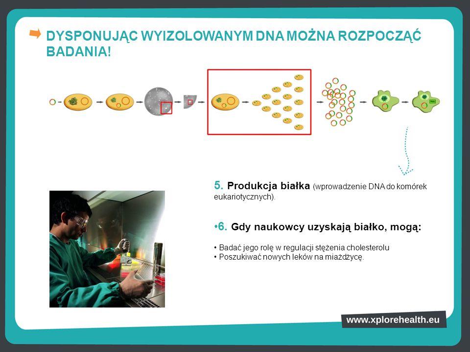 DYSPONUJĄC WYIZOLOWANYM DNA MOŻNA ROZPOCZĄĆ BADANIA! 5. Produkcja białka (wprowadzenie DNA do komórek eukariotycznych). 6. Gdy naukowcy uzyskają białk