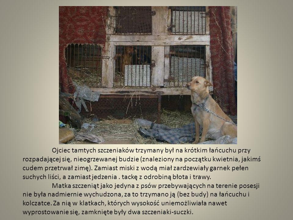Ojciec tamtych szczeniaków trzymany był na krótkim łańcuchu przy rozpadającej się, nieogrzewanej budzie (znaleziony na początku kwietnia, jakimś cudem