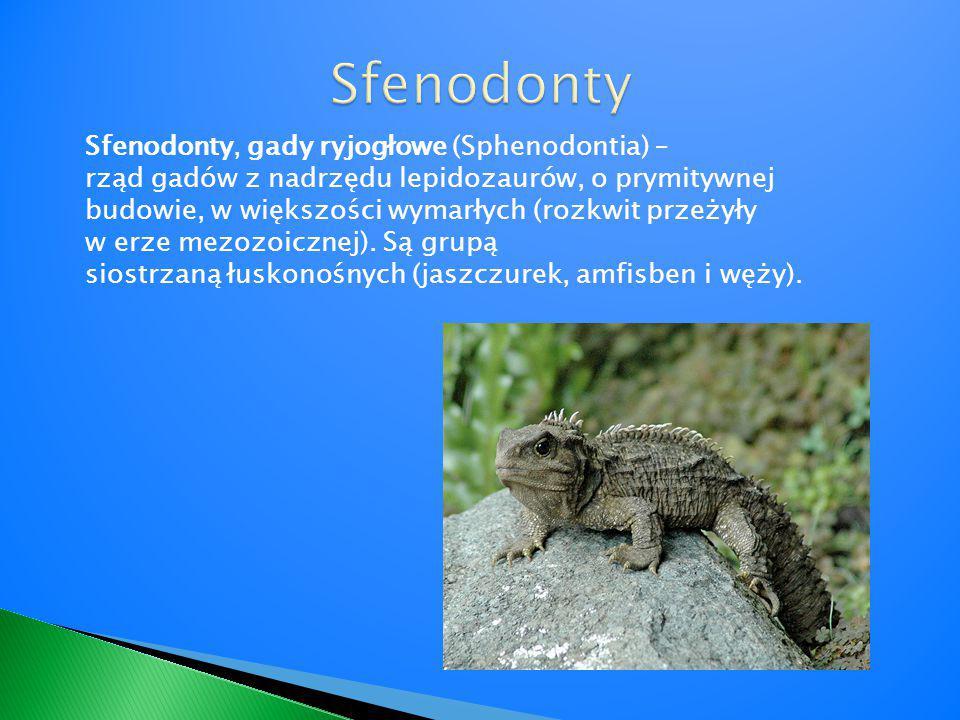 Sfenodonty, gady ryjogłowe (Sphenodontia) – rząd gadów z nadrzędu lepidozaurów, o prymitywnej budowie, w większości wymarłych (rozkwit przeżyły w erze