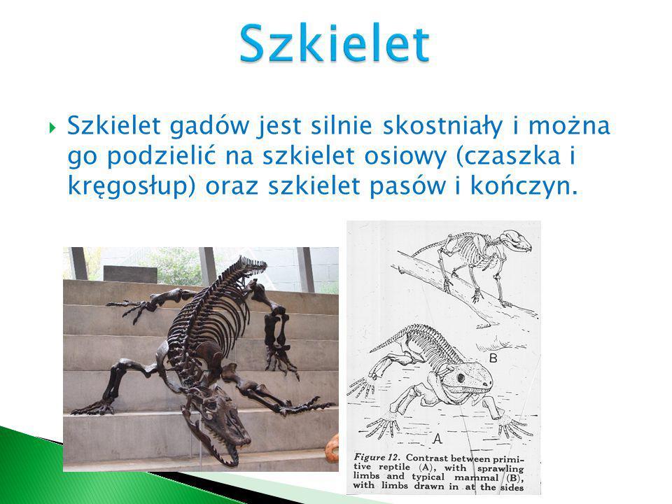  Szkielet gadów jest silnie skostniały i można go podzielić na szkielet osiowy (czaszka i kręgosłup) oraz szkielet pasów i kończyn.
