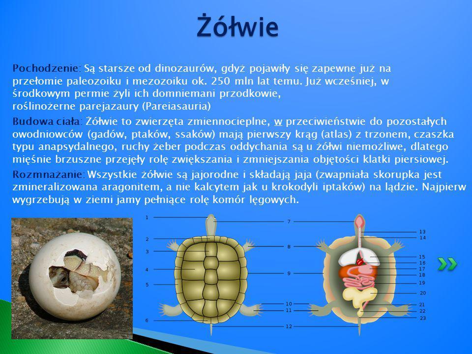 Krokodyle (Crocodilia) – rząd gadów, jedynych oprócz ptaków współczesnych przedstawicieli archozaurów (Archosauria) oraz jedynych żyjących przedstawicieli kladu Crurotarsi.