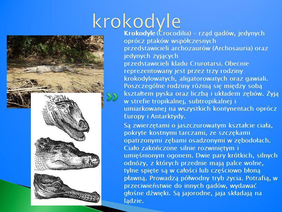 Krokodyle (Crocodilia) – rząd gadów, jedynych oprócz ptaków współczesnych przedstawicieli archozaurów (Archosauria) oraz jedynych żyjących przedstawic