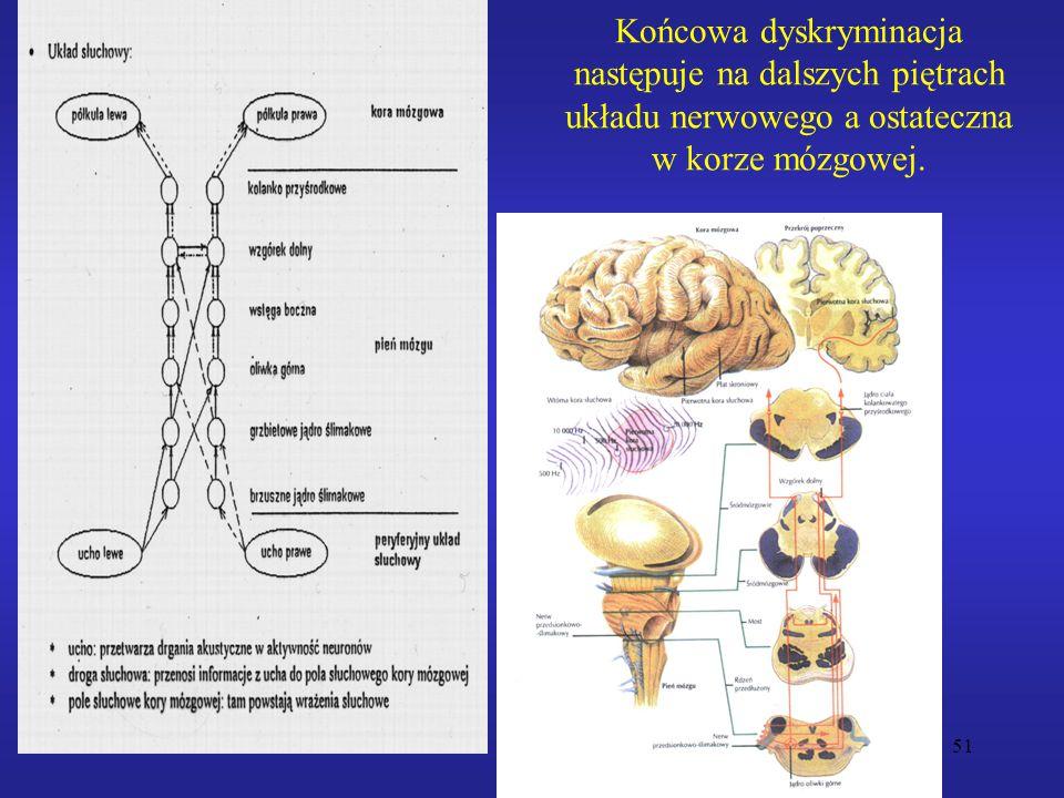 51 Końcowa dyskryminacja następuje na dalszych piętrach układu nerwowego a ostateczna w korze mózgowej.