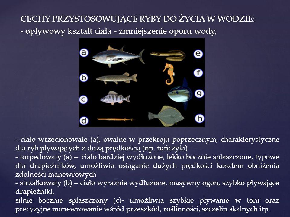 CECHY PRZYSTOSOWUJĄCE RYBY DO ŻYCIA W WODZIE: - opływowy kształt ciała - zmniejszenie oporu wody, - ciało wrzecionowate (a), owalne w przekroju poprzecznym, charakterystyczne dla ryb pływających z dużą prędkością (np.