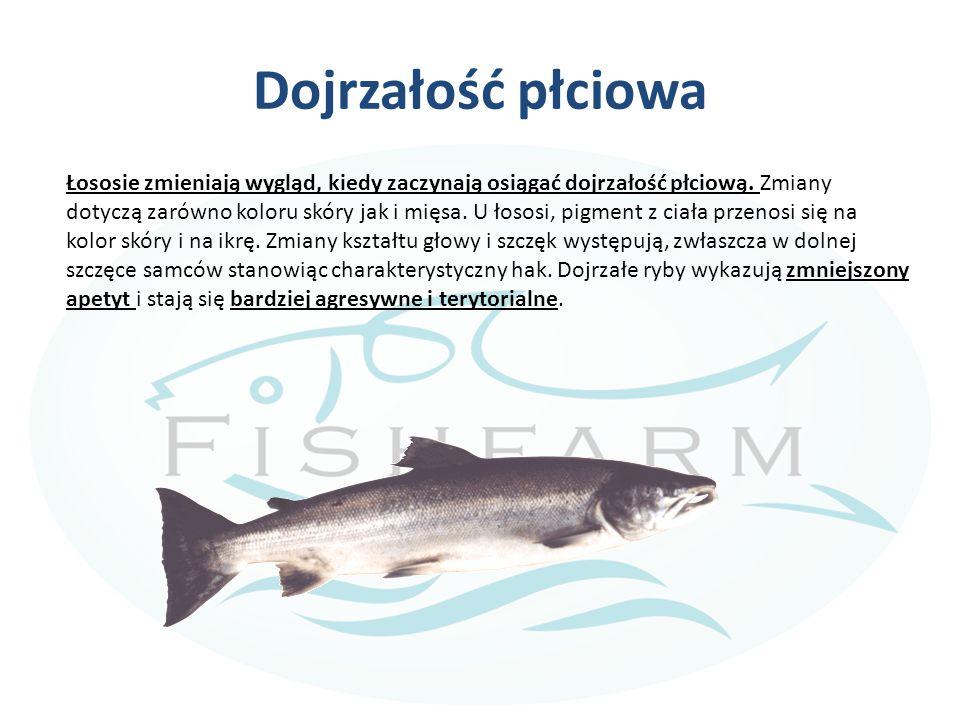 Pobieranie materiału do rozrodu od łososia When fish are mature, they can be stripped of eggs and sperm (milt).