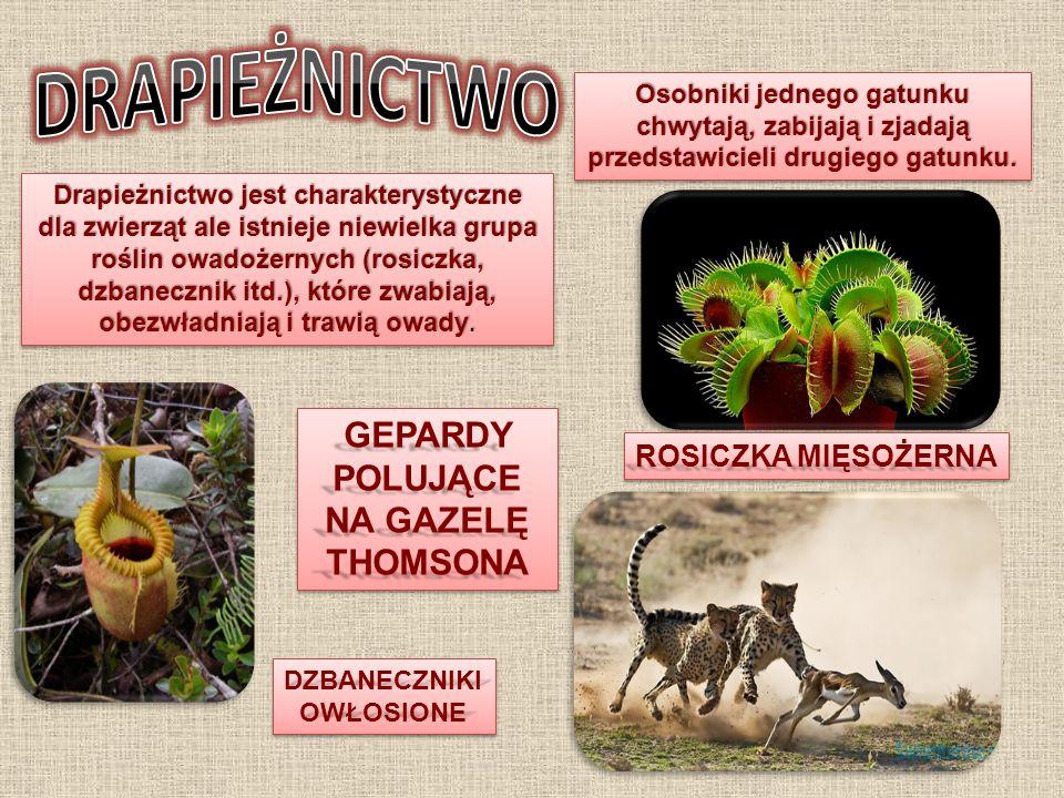 Osobniki jednego gatunku chwytają, zabijają i zjadają przedstawicieli drugiego gatunku. Drapieżnictwo jest charakterystyczne dla zwierząt ale istnieje